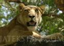 Lion Resting rakd ki az oroszlán